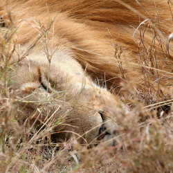 A lion sleeps in the Serengeti National Park in Tanzania, in this 2006 photo. Adult lions, which spend the majority of the day sleeping, are not particularly afraid of humans, making it relatively easy to get close to one. Bloomberg News photo by Nadja Brandt