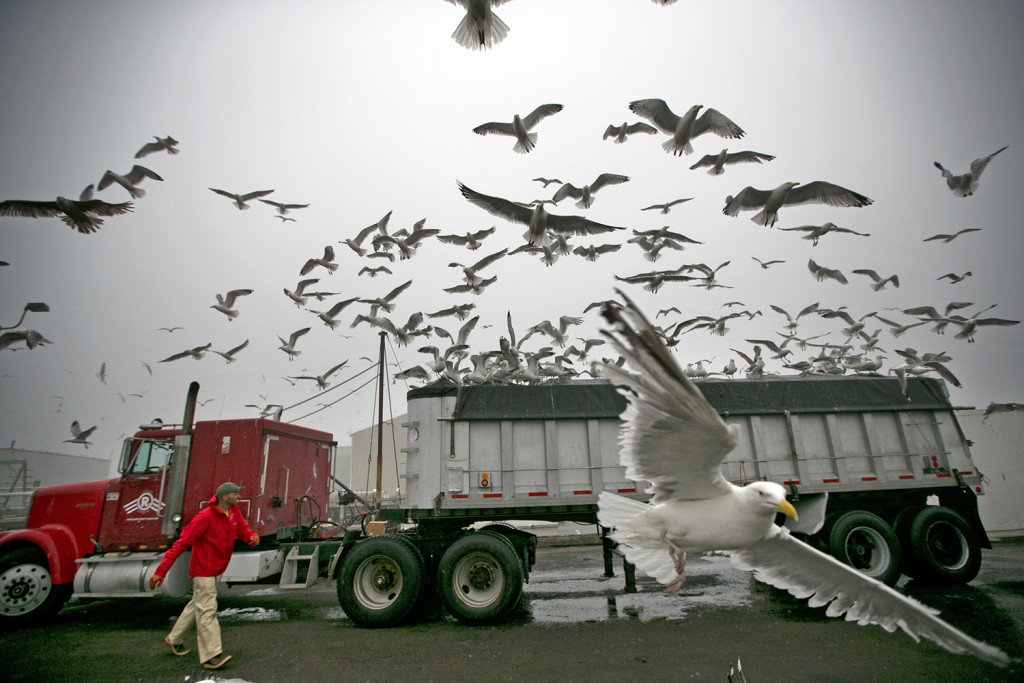 Fisherman Neil Herrick attempts to scare away gulls from a tractor-trailer full of fresh herring on  July 8 in Rockland. The persistent gulls were able to find a gap in the protective covering almost immediately after the truck parked, gaining access to an easy meal. Robert F. Bukaty / The Associated Press
