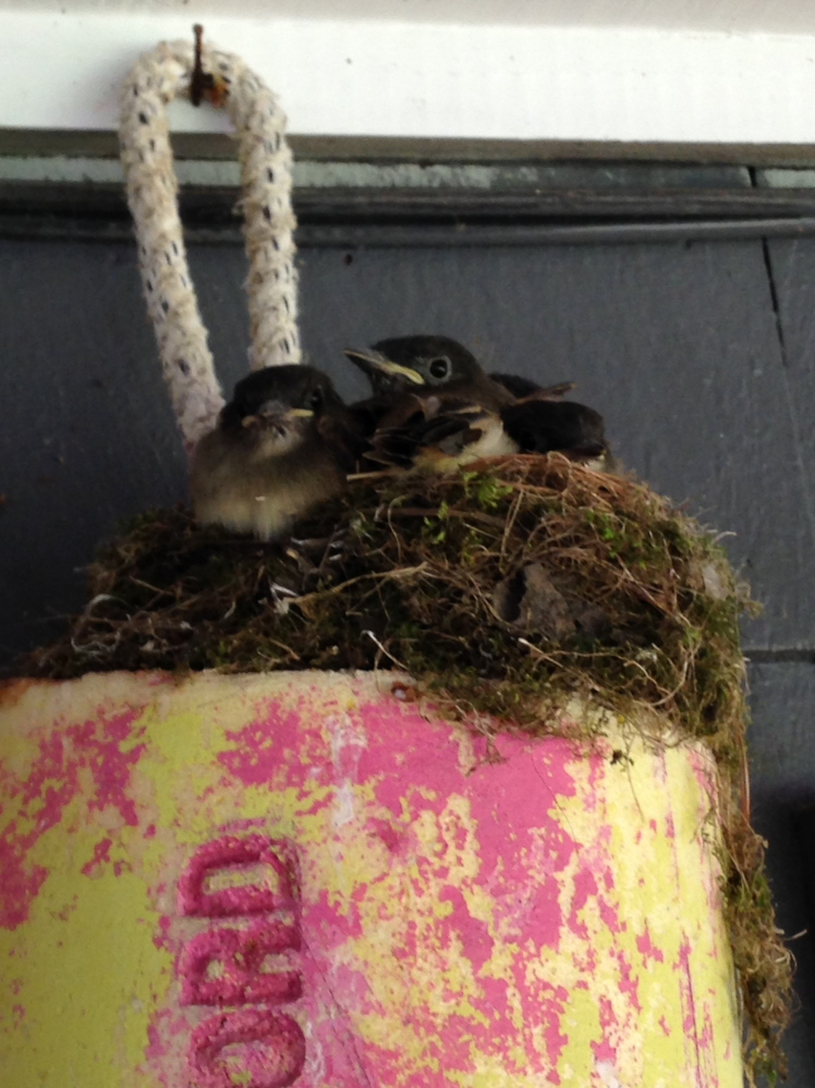 Time was when the bouy in the Cape Elizabeth yard of Alison Smith provided respite for gulls. More recently, it made a fine base for a sparrow's nest, now  vacant as the five fledglings have flown the coop.