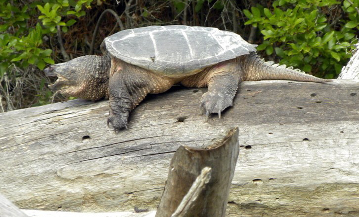 Paul Stevens has seen a lot of turtles sunning themselves on the logs of Damariscotta Lake, but says this just might be the biggest.