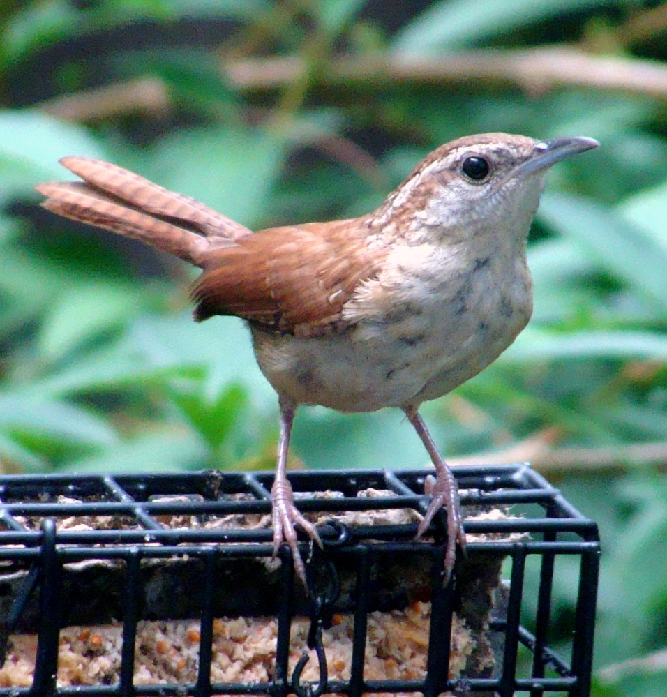 A Carolina wren, the state bird of South Carolina, was a surprise visitor at Scarborough yard of Allen Davis, and it wasn't at all camera-shy after helping itself to the feeder's offering.