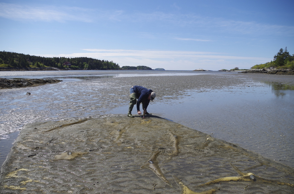 Chris Warner inspects the net protecting one of the plots at his experimental clam farm at Heal Eddy in Georgetown.
