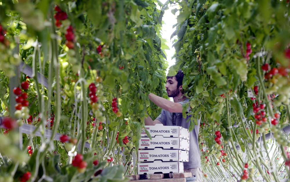 Nicholas Satmary picks cherry tomatoes at Olivia's Garden in New Gloucester in April. The local food movement in Maine has exploded in the 10 years since the University of Maine System signed its last food-service contract.
