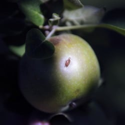 A damaged apple at Lakeside Orchards in Manchester, which was hit by a hail storm on Saturday.