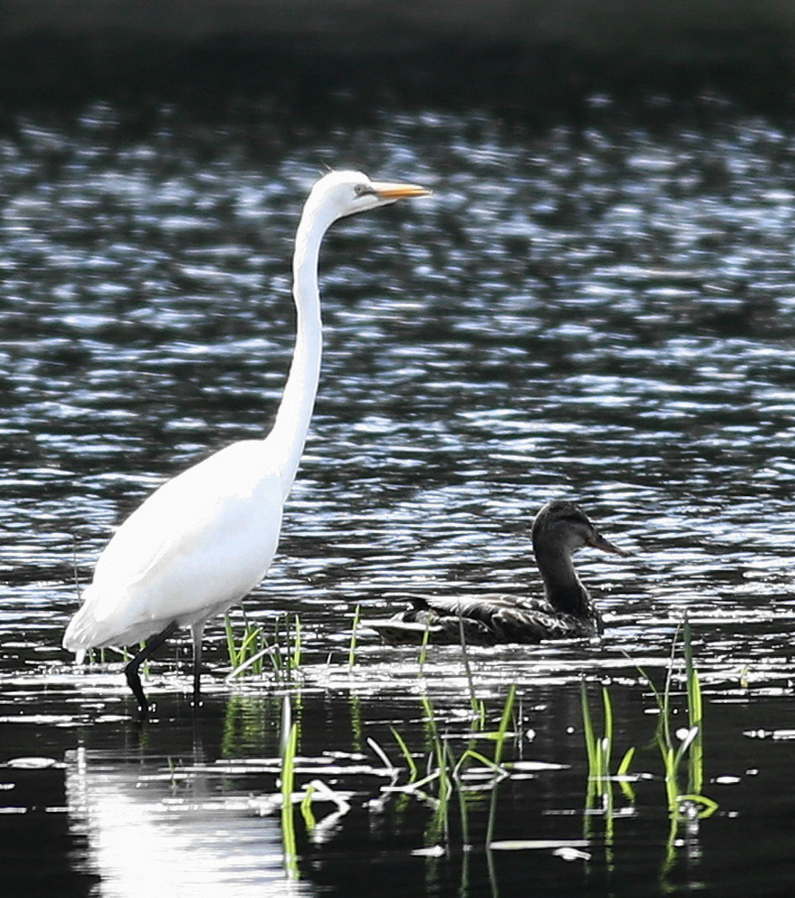 Diversity in all its natural beauty on the Androscoggin River in Jay, where a great egret and a mallard duck fished side-by-side while Jim Knox observed from a distance.