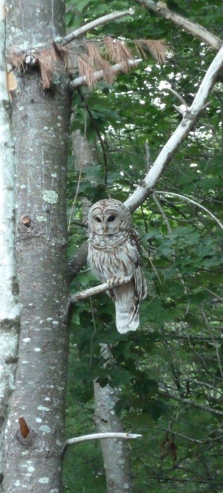 Patience should reward this barred owl with something small and furry as it perches motionless in Dominique Zulueta's Alfred's yard, unseen by tiny critters until it's too late.