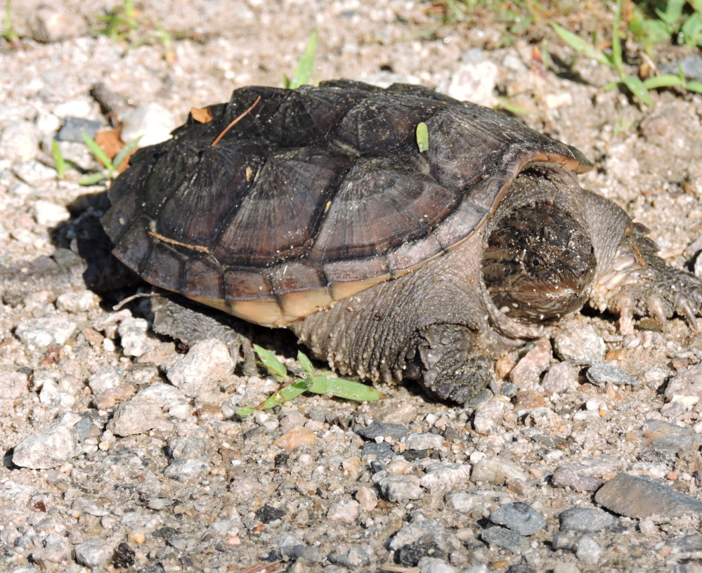 A snapping turtle takes a stroll on the path through the Scarborough Marsh where Kristen Holmberg also was enjoying a slow walk.