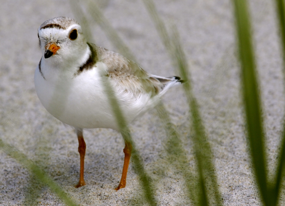 Because piping plovers nest and breed on beaches from spring through late summer, they have become a point of tension over beach restrictions.