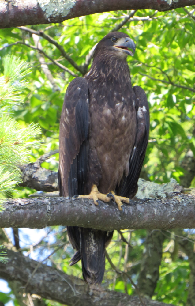 Look out fish: An eagle family is thriving near the lake in Limerick where Stephanie Sonia says the mating pair has produced two eaglets, probably raising them on a healthy freshwater fish-intense diet.