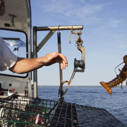 Scott Beede returns an undersized lobster in this 2012 file photo while fishing in Mount Desert. Scientists attribute lower lobster numbers in southern New England in large part to the warming of the ocean.
