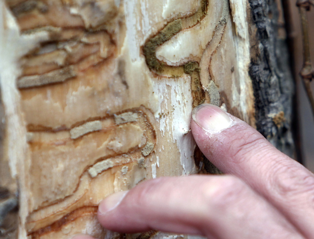 Forester Jeff Wiegert of the New York State Department of Environmental Conservation points out the markings left from emerald ash borer larvae on an ash tree at Esopus Bend Nature Preserve in Saugerties.
