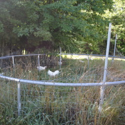 An old trampoline frame is wrapped with wire fencing to make a large chicken tractor. The frame is lightweight and has a couple of wheels on one side for ease in moving it around the yard. Moving it every few days ensures the chickens are on fresh pasture with tall grass and lots of bugs for them to eat.