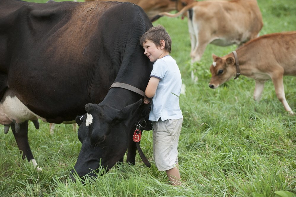 Alister Holmes hugs one of his family's dairy cows Friday.
