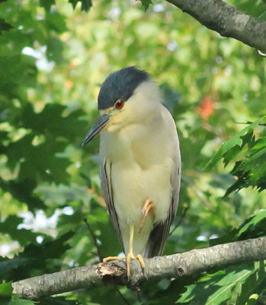 David and Linda Kirstein of Scarborough heard loud rustling over a stream in their yard and fpimd a black-crowned night heron.