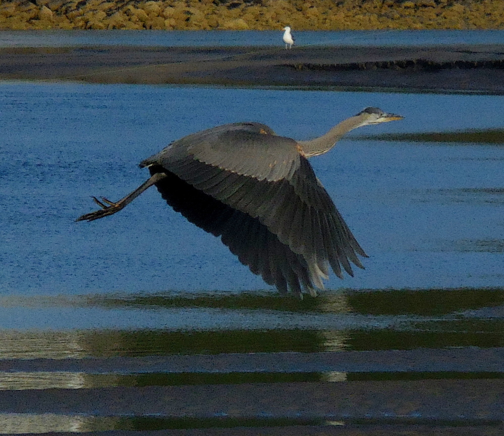 Jean Wallace-Fearon of Ogunquit was in the right spot to get a shot of a blue heron in flight over the Ogunquit River.
