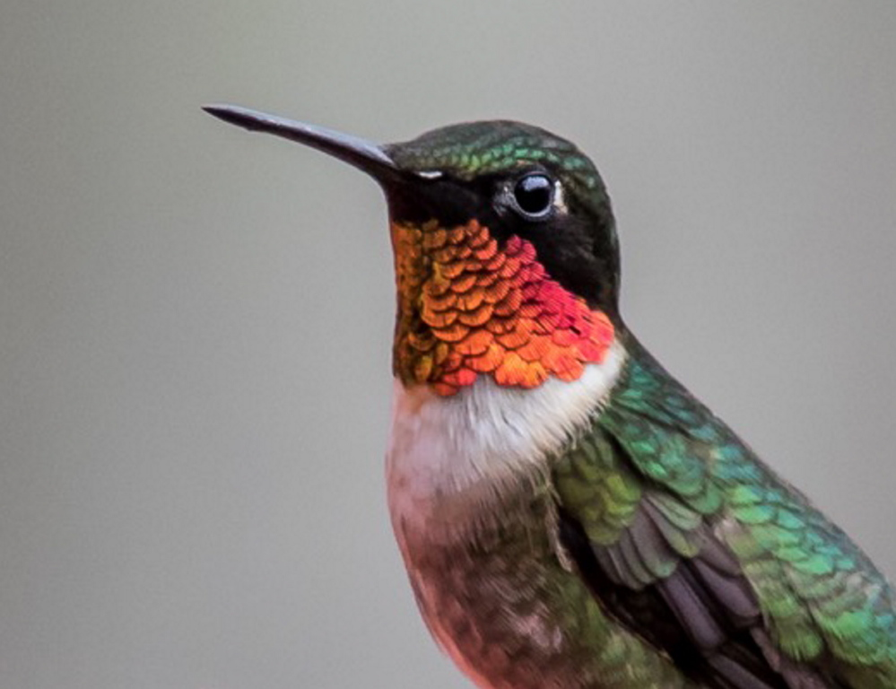 A ruby-throated hummingbird buzzes the flowers in Dr. Ken Janes' backyard in Kennebunkport.