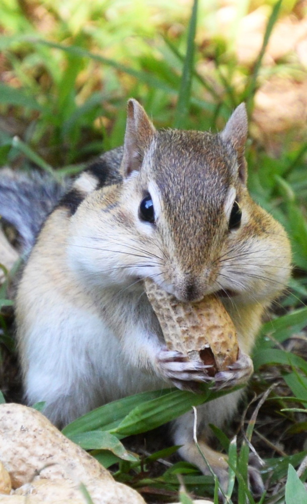 This squirrel climbed inside of and tipped over a bowl of peanuts before helping himself to a snack, says Brian Lovering of New Gloucester.