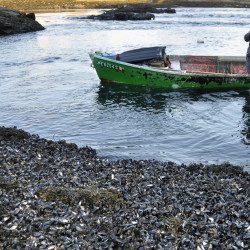 Mussel harvester Phil Gray approaches a South Harpswell shoreline covered with the mollusks in 2009. Wild mussels once covered over 50 percent of Maine's intertidal zone, researchers say, but they are now much harder to find.