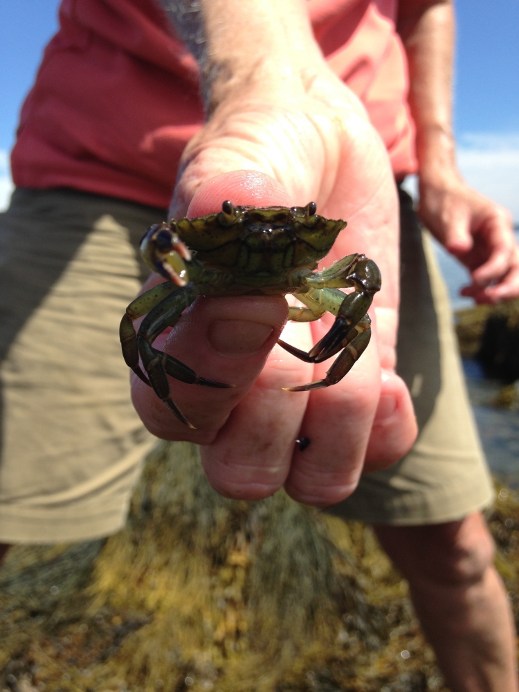 Ann Thayer of Friends of Casco Bay finds more green crabs, like this one, than wild mussels when she surveys shorelines. The crabs are thought to be a culprit in the decline of Maine's wild mussels. Mary Pols/Staff Writer
