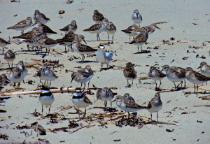 A least tern stands out in a crowd of sandpipers and plovers on Popham Beach, especially with a sandlance hanging from its beak. Maybe that accounts for the bird's popularity, but it's not about to share its feast with anyone. By Linda Rogoff of Portland.