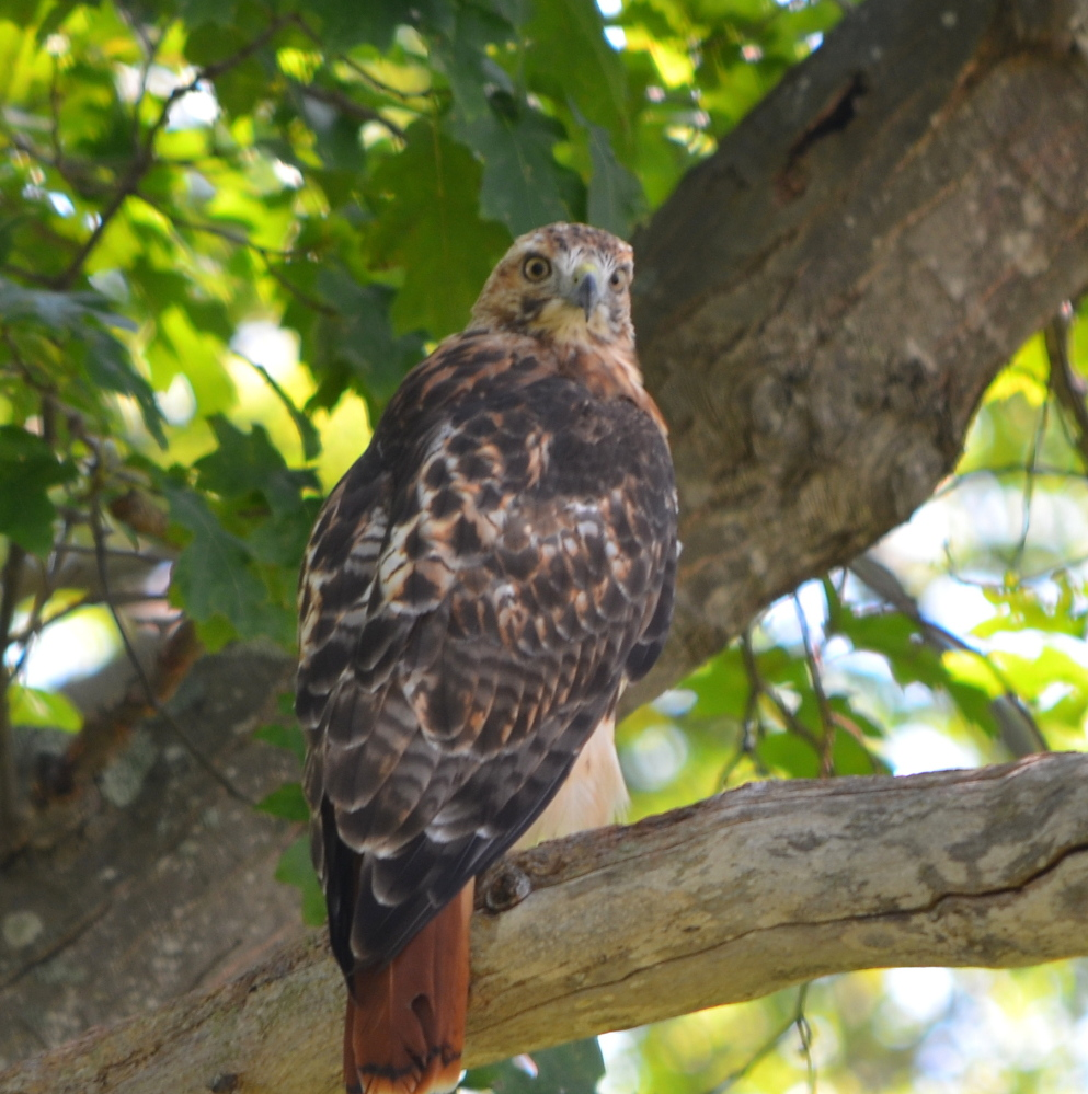 Paul F. Wells and his son noticed this red-tailed hawk perched over the Kennebunk Bridle Path near the estuary of the Mousam River, but it's a good bet that  small critters did not until it was too late.