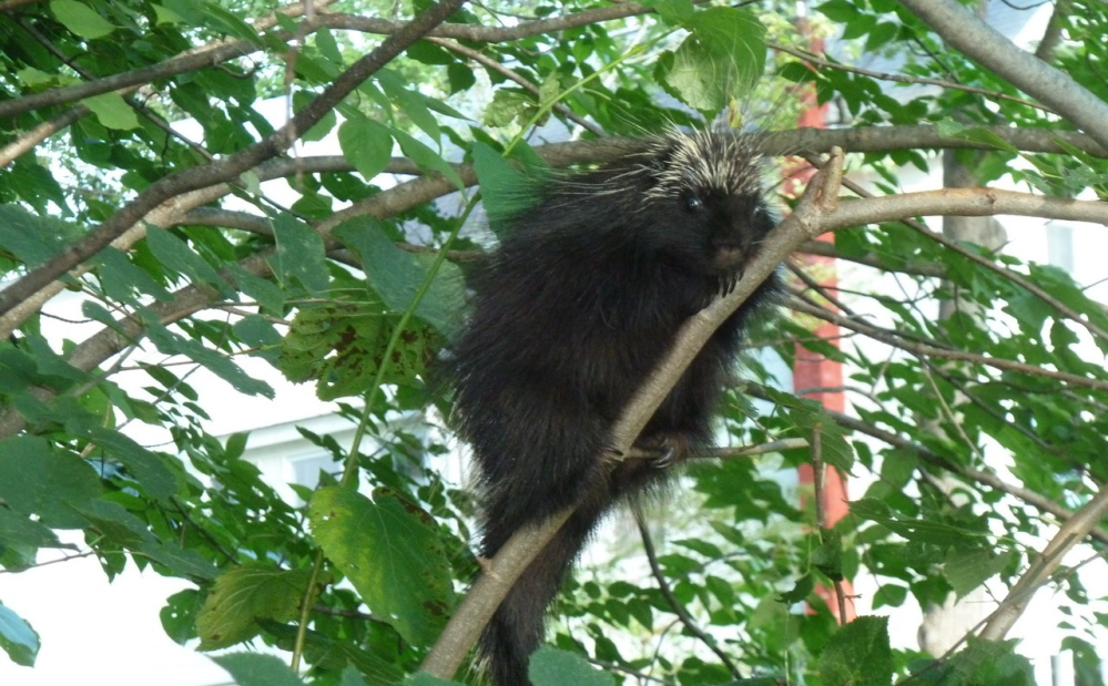 """Describing himself as a """"live-and-let-live"""" type, Bridgton's Bill Preis tolerates a porcupine in his yard, even if it gnaws on a treasured eastern hemlock tree."""