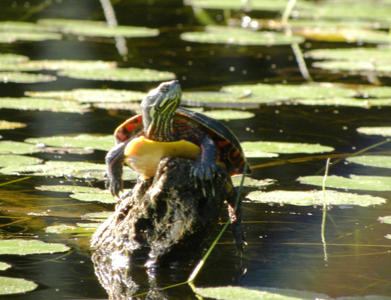 Hopefully this turtle isn't channeling its inner Yertle, gazing up and mulling what it can reign over. Its throne at Damariscotta should suffice. By Paul Stevens of Jefferson.
