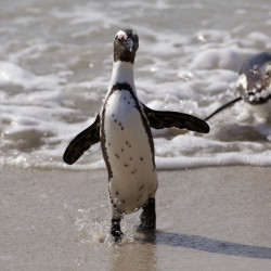 The penguins on South Africa's west coast are a big tourist attraction, but their numbers have declined from around 1 million in the 1930s to just 100,000 today. The bird was declared endangered in 2010.