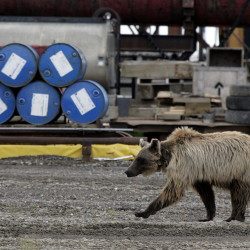 A grizzly bear wanders around Deadhorse, Alaska, some 260 miles north of the Arctic Circle, where hundreds of workers service North Slope oil fields. President Obama will visit Alaska this week to press his case for a climate-change treaty.