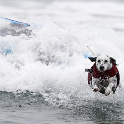 A dalmatian jumps to safety after riding the waves during the Petco Unleashed surfing dog contest.