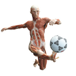 """The Soccer Player"": one of the figures that will be on display when ""Body Worlds"" opens Sept. 4 on Commercial Street. © Gunther von Hagens' BODY WORLDS, Institute for Plastination, Heidelberg, Germany, www.bodyworlds.com. All rights reserved."