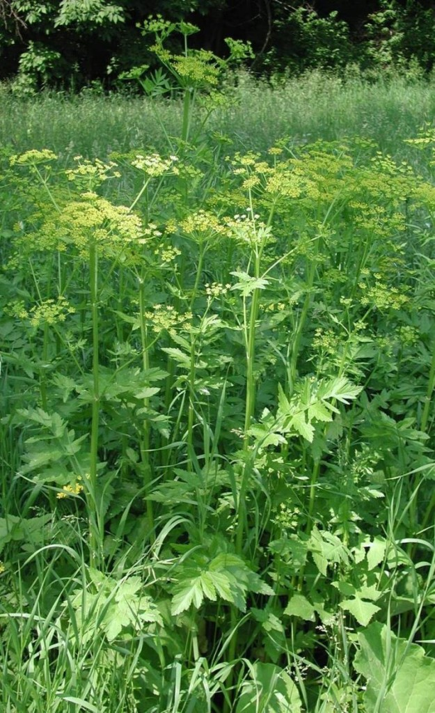 The wild parsnip is common to fields and roadsides. Maine.gov photo