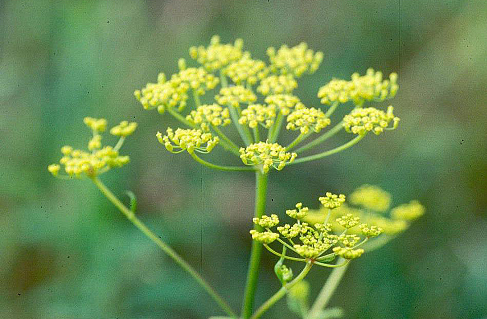 The wild parsnip flower is similar in structure to that of Queen Anne's Lace. Maine.gov photo