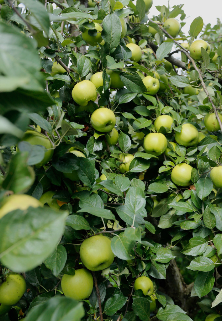 Apple Early Days : Heirloom apple varieties making a steady comeback at maine
