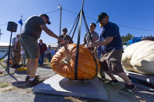 A team of volunteers lowers a giant, 555-pound pumpkin onto a scale Sunday at the Cumberland Fair. Ben McCanna/Staff Photographer