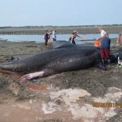 Beachgoers try to help a basking shark that washed up on shore in Lubec on Wednesday, according to WCSH Channel 6.