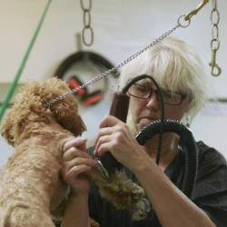 Tracey Benson trims the coat of Gracie, a miniature poodle, at Paws Applause in Scarborough. Derek Davis/Staff Photographer