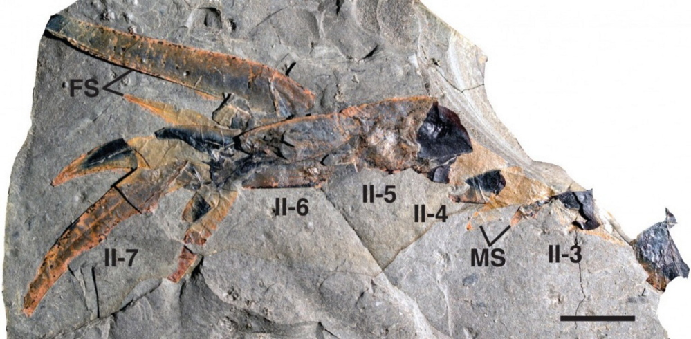 Fossilized remains show the many limbs of the Pentecopterus.