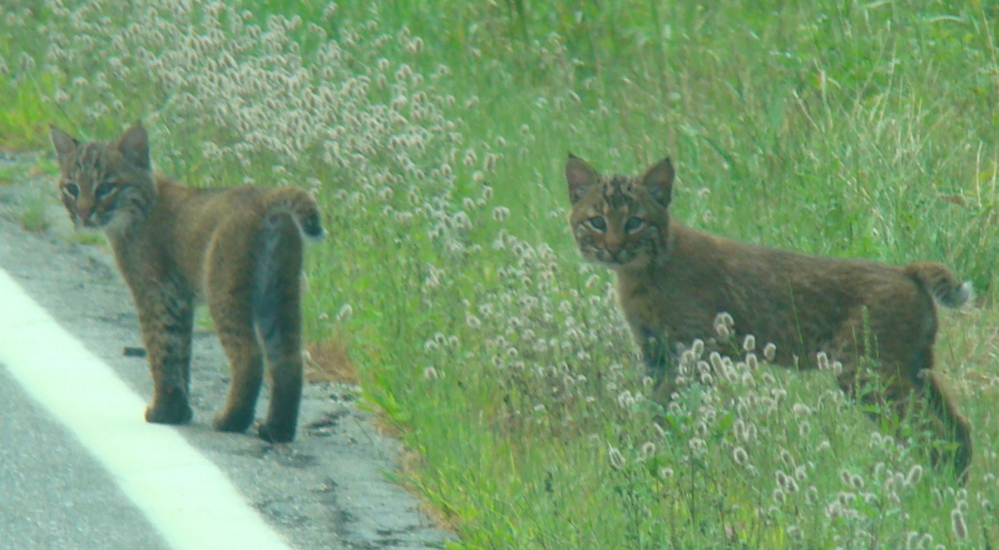Waldo County mice beware, as these bobcat kittens are growing up fast, although they'd better stay off the road, where South Portland's Peggy Fuller was able to take this photo from a car.