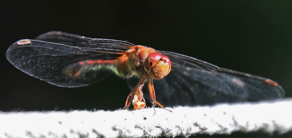 Nice wingspan, but a face that only another damselfly could appreciate. But Erik Bartlett says there have been other damselflies on his clothesline in his Casco yard.