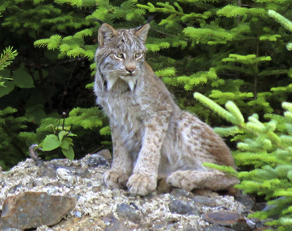 Maine is believed to be home to the largest population of Canada lynx in the Lower 48 states, thanks to clear-cutting in the 1970s and 1980s, a forestry practice now restricted.