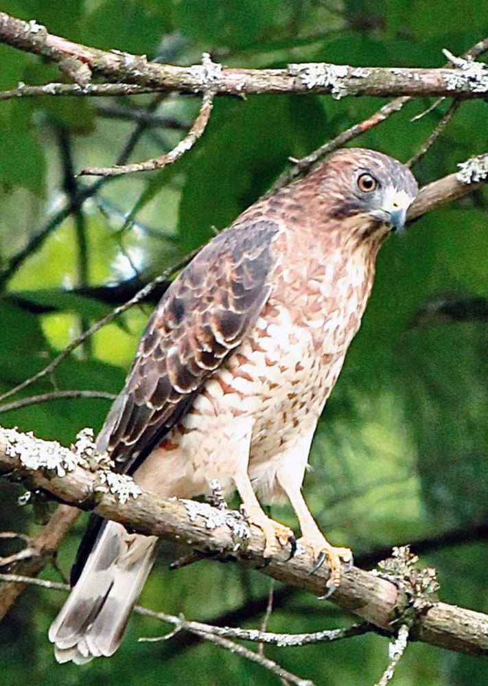 Birds are familiar visitors in the Hollis yard of Kathy and Chuck Campbell, but this is the first time they've seen a falcon. Could be they won't see many other birds until this formidable raptor makes its way elsewhere.
