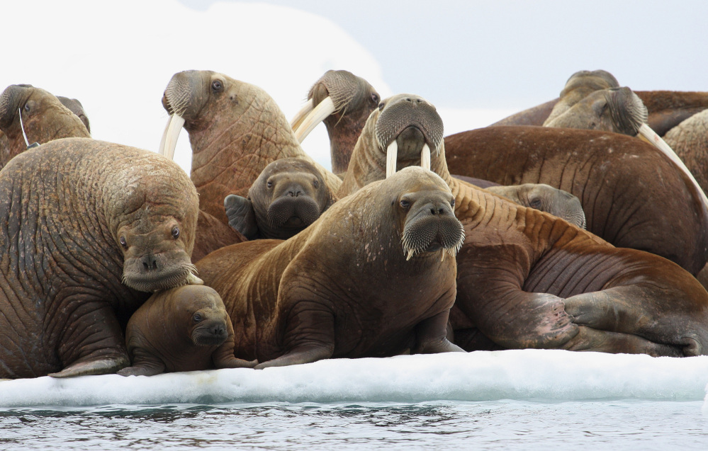 The U.S. Fish and Wildlife Service has declined for now to create artificial floating platforms for Pacific walrus that come ashore in Alaska because they lack summer sea ice.