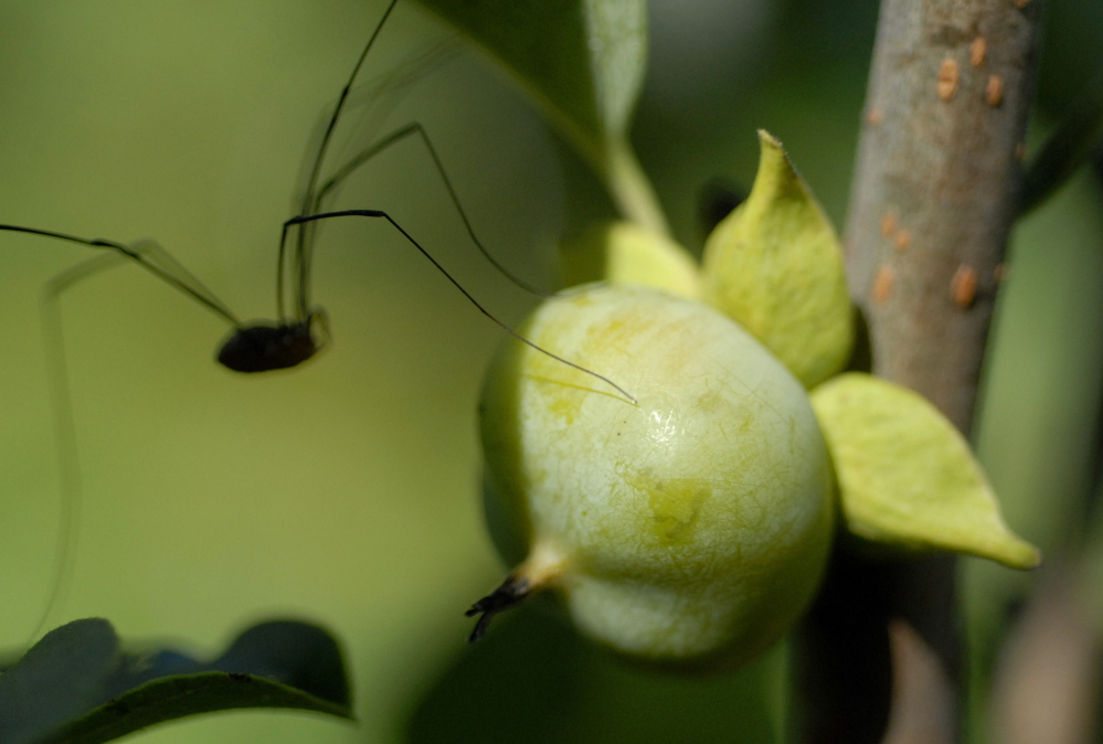 An insect crawls over a young persimmon fruit in Aaron Parker's garden.