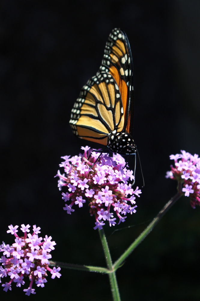 King for a dwindling number of warm days, a monarch butterfly uses a Verbena Bonariensis as a throne in Michael Mathews' Camden garden. Mathews' wife, Stephanie, says it's the first monarch they've seen in two years.