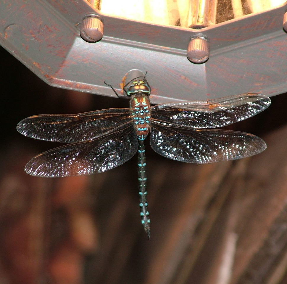A dragonfly comes within camera range for Heidi Reed of Waterboro.
