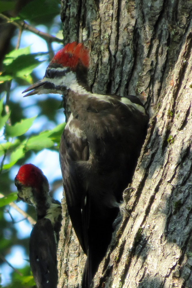 The largest of the tree-banging species, a couple pileated woodpeckers lay off the bark long enough for Cathy Wilkie Conley of Alfred to catch their profiles.