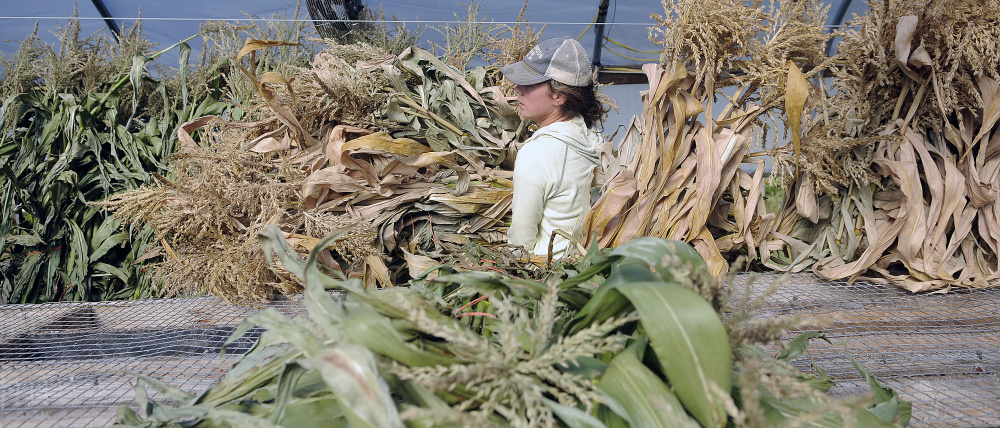 Alice Berry lugs cornstalks Monday at the Stevenson Farm in Wayne to a pickup truck for delivery to the farm's roadside stand on U.S. Route 202 in Winthrop. Farmer Tom Stevenson said the stand is selling fall vegetables and adornments now, including pumpkins and other gourds.