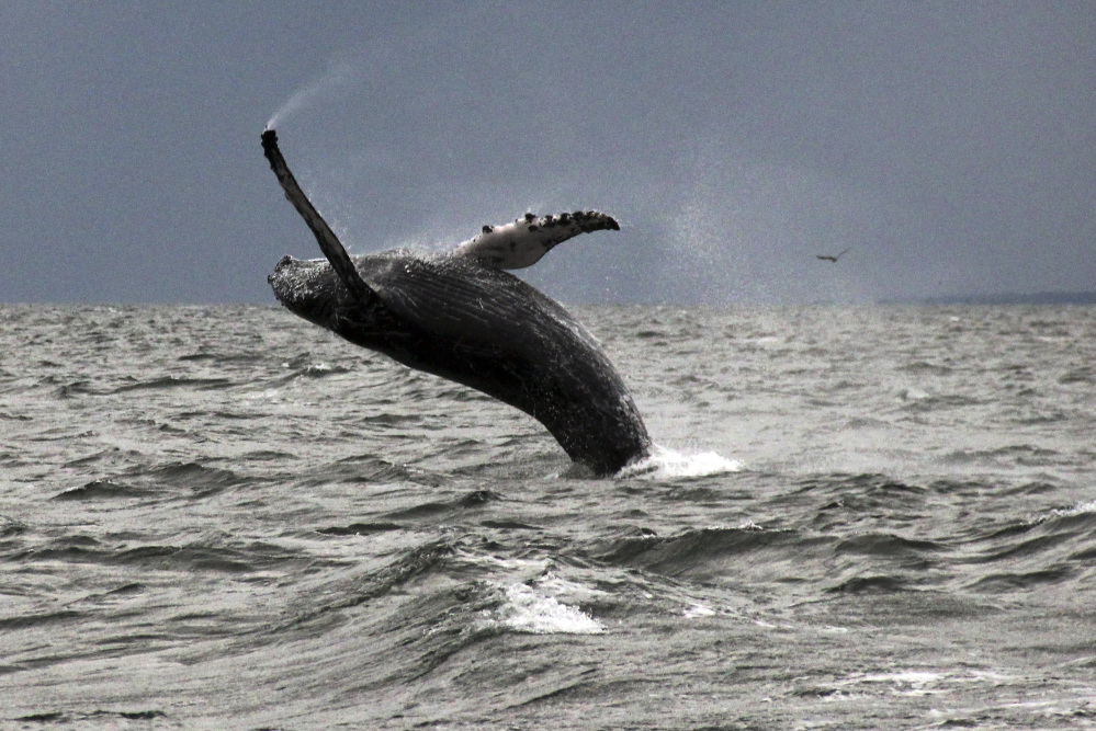 One of a number of humpback whales that have returned to Long Island Sound this summer after an absence of many years.