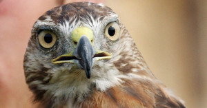 A hawk-watching program with a live bird demonstration will be held Sunday.